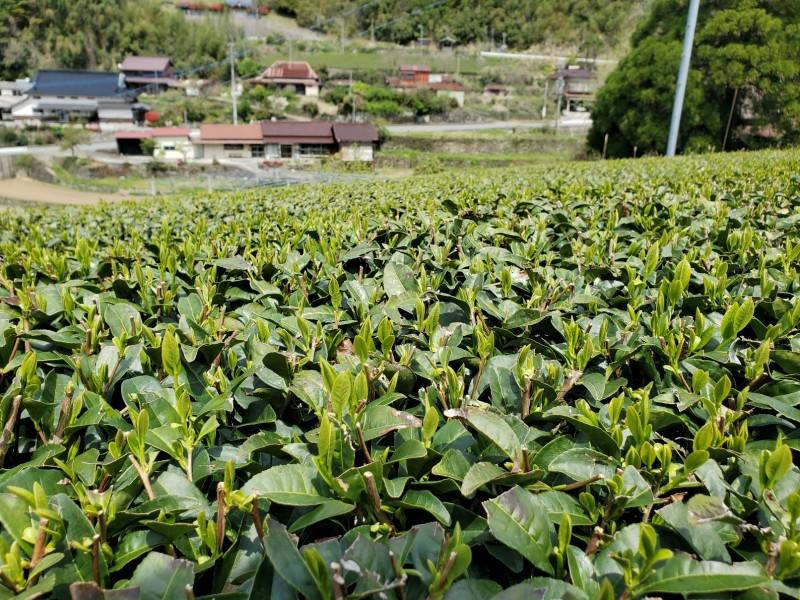 2021 新茶の様子 (福岡県八女市星の村GABA) 1